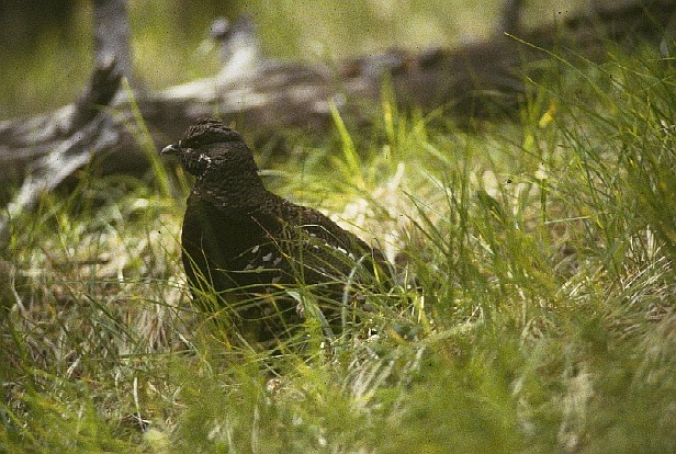 A Spruce Grouse sitting in tall grasses with a fallen tree branch in the background.