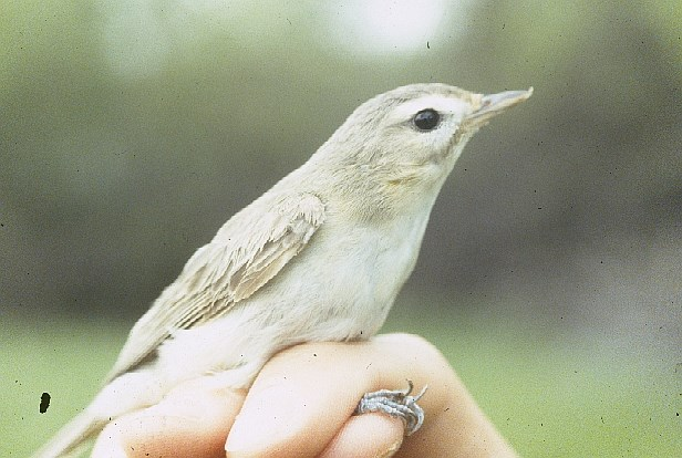 A Warbling Vireo resting on a person's hand.