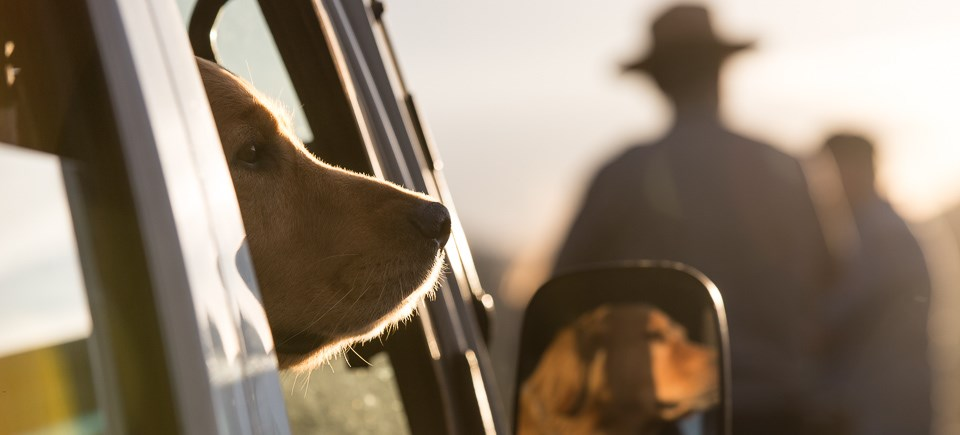 A dog, with face sticking out of the window, waits safely in the car.