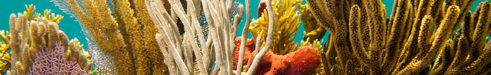 Purple, yellow, gold and orange sponges and soft corals wave against a turquioise sea.