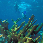 A snorkeler dives down to get a closer look at an elkhorn coral