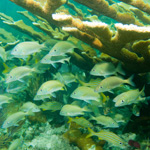 A large school of grunts hides beneath the spreading arms of an elkhorn coral.