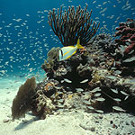 Porkfish on coral reef