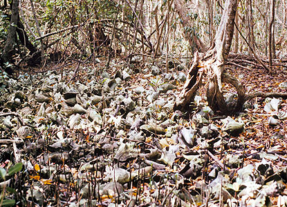 Piles of conch shells are some of the evidence left behind by native peoples.