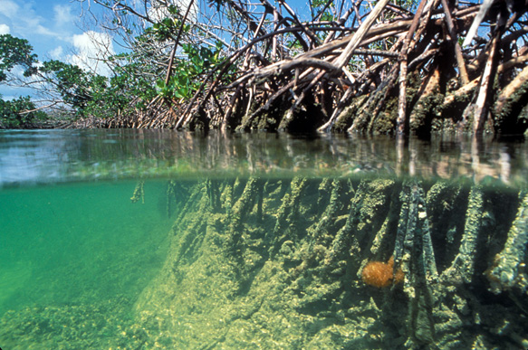 above- and below-water views of a mangrove shoreline