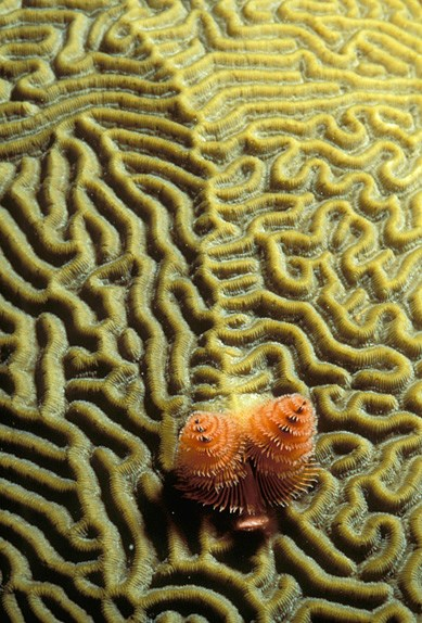 brain coral with christmas tree worms