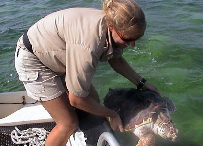 A Student Conservation Association volunteer releases a rehabilitated sea turtle back into the park.