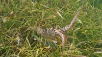 Lobster in seagrass meadow.