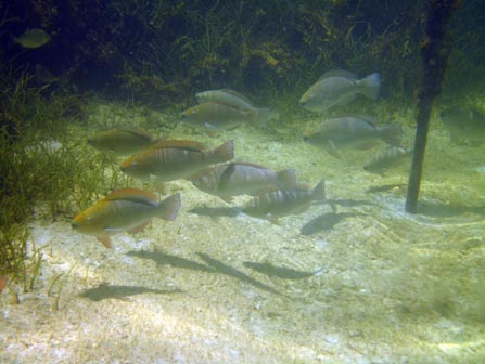 Parrotfish at seagrass restoration site.