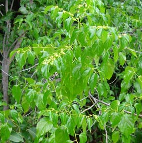 Colubrina asiatica is one of many exotic invasive plants found in Biscayne National Park