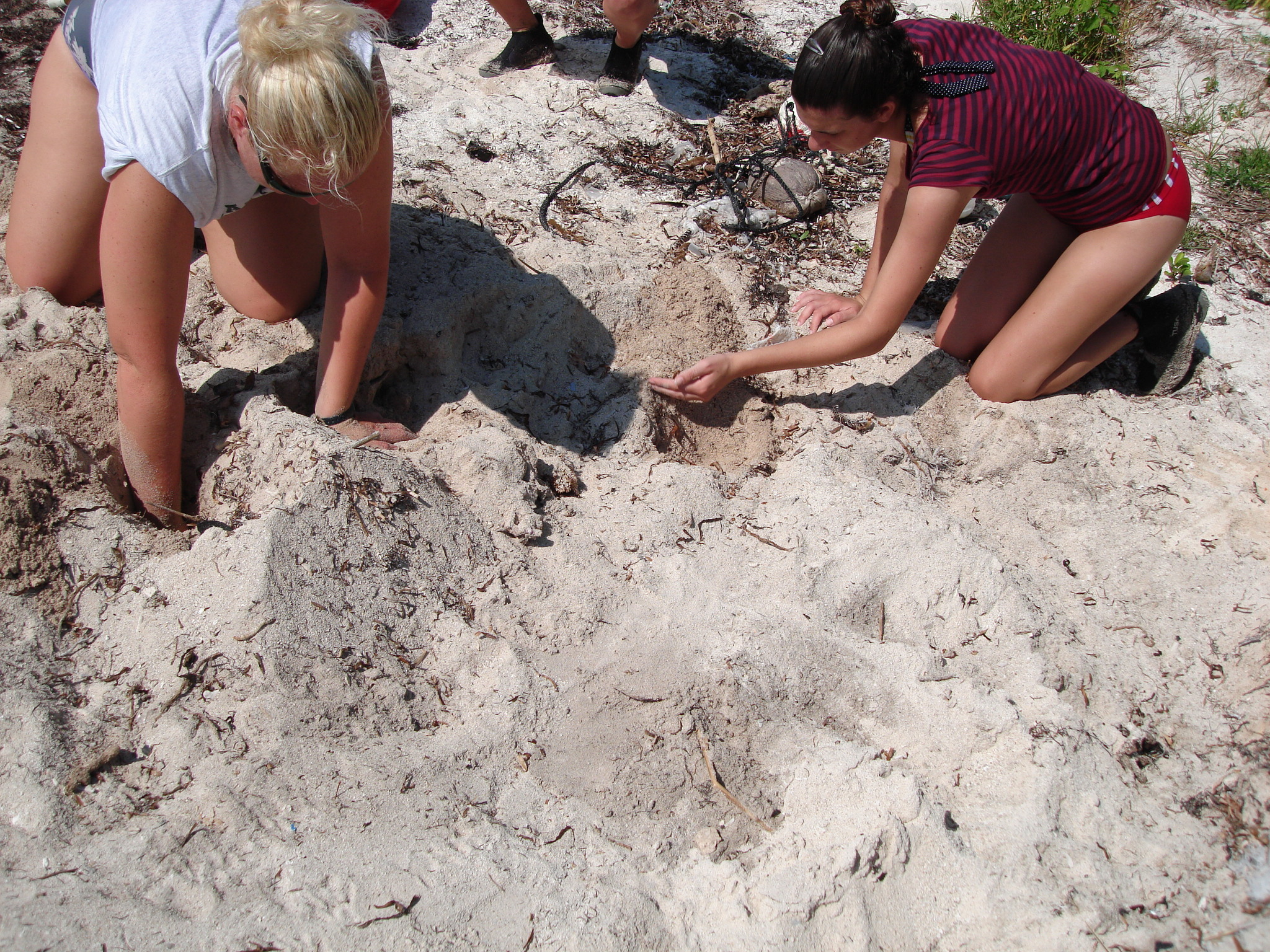 A park employee and a volunteer dig in the sand to locate the exact position of a sea turtle nest so that the protective mesh screen can be placed in the proper place