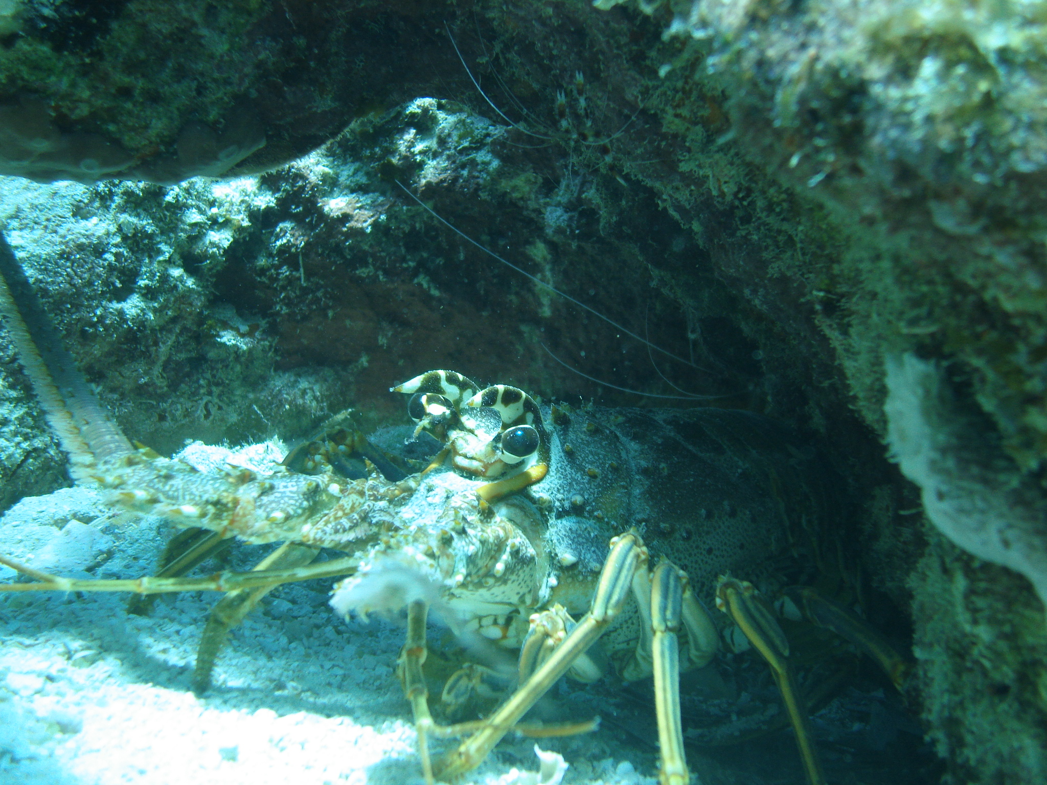 A spiny lobster emerges from under a crevice in a coral reef