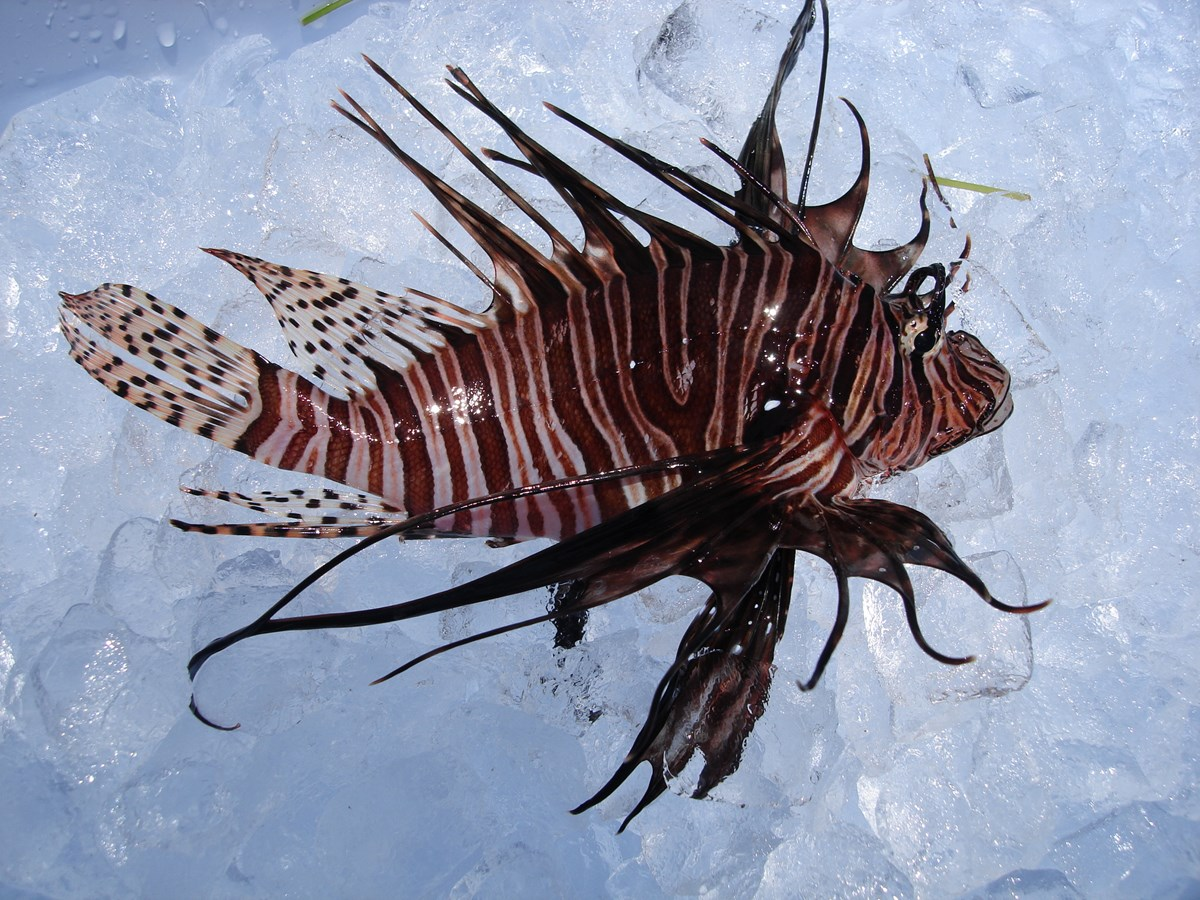 Captured Lionfish on Ice