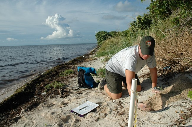Loggerhead nest monitoring