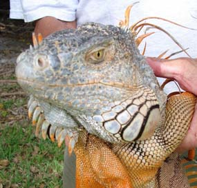 The green iguana is one of many exotic species that can be observed in Biscayne National Park