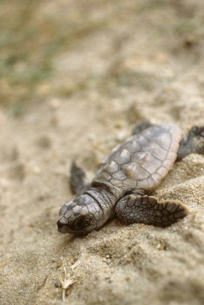 A recently hatched sea turtle has begun its journey to the sea