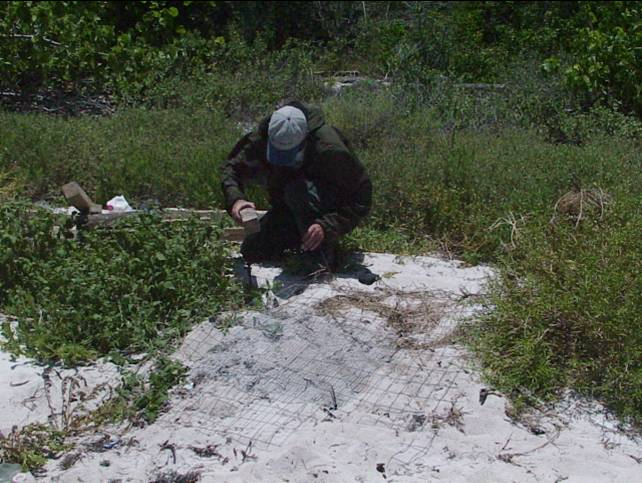 A volunteer secures stakes over the corners of the anti-predation mesh screen that will protect the sea turtle nest below it