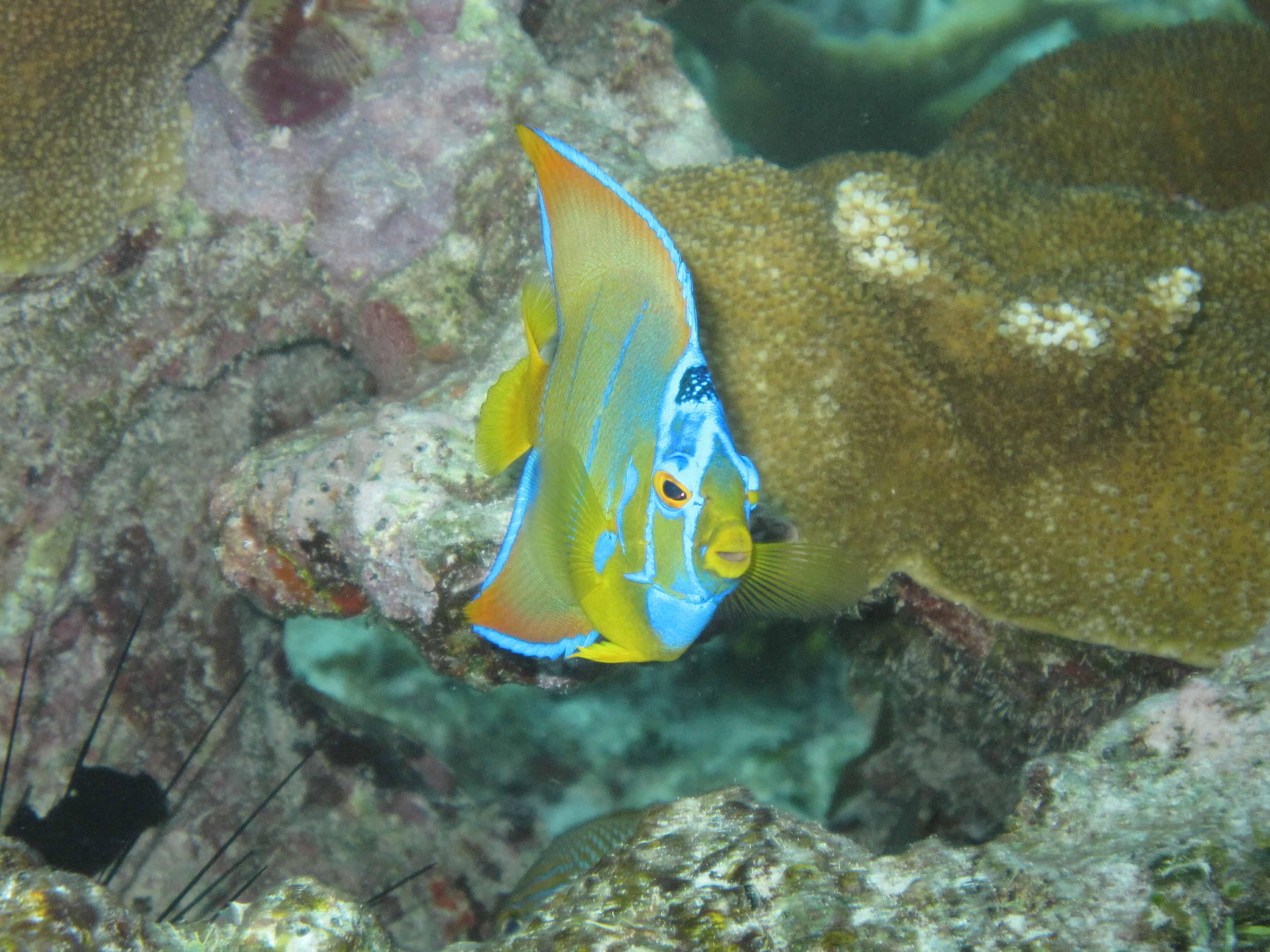 Angelfish landscape for Queen angel fish