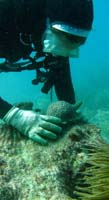 Reattaching coral to the reef