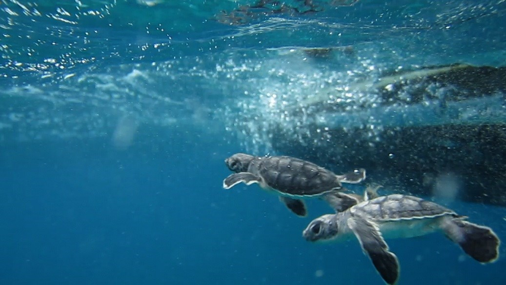 seaturtles released