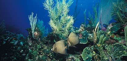 Two gray angelfish on reef