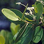 white mangrove leaves and flowers