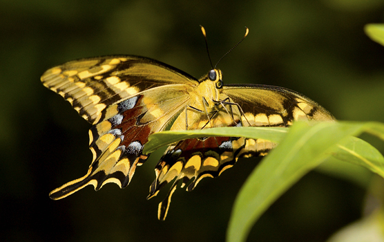 The underside of a Schaus swallowtail butterfly alighting on a leaf shows the mostly yellow undersides of the wings highlighted with brown, rust and blue.