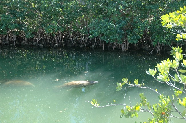 Manatees at Dante Fascell Visitor Center