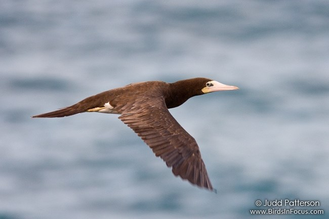 BrownBooby
