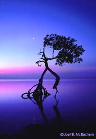 Lone mangrove tree with still water and pink and purple sky.