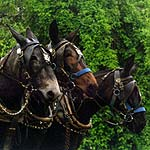 mules pull farm equipment at festival