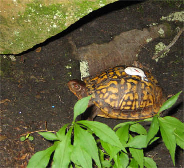 Tim the Turtle 8-13-11