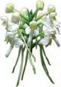 White fringless orchid