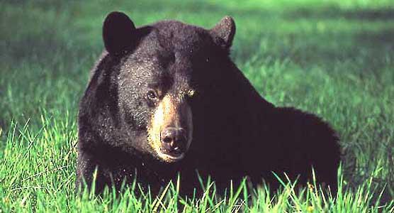 Black Bear On The Plateau Big South Fork National River