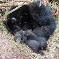 Black bear and cubs at den site.