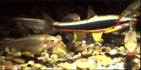 Black side dace, a federally listed threatened species