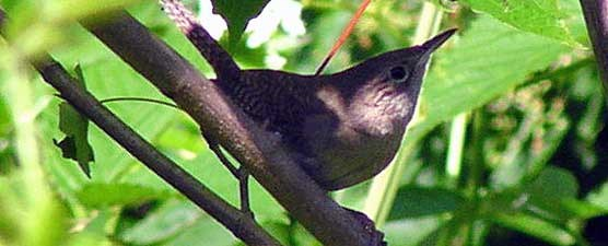 House wren is one of over 170 species of birds which can be observed in Big South Fork.