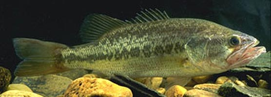 Largemouth bass are one of many popular game species found in Big South Fork.