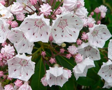 MountainLaurel (1)