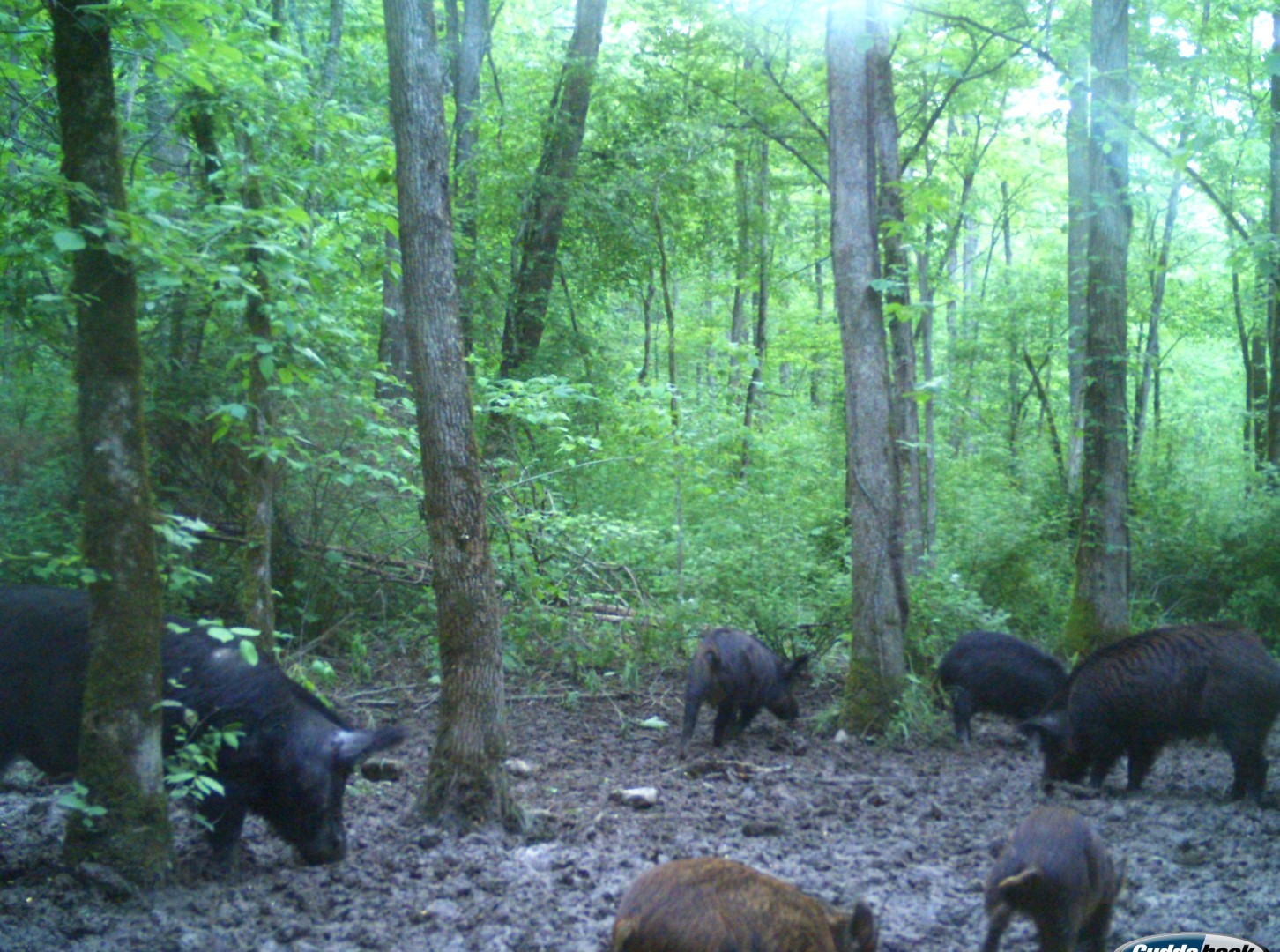 Group of Wild hogs