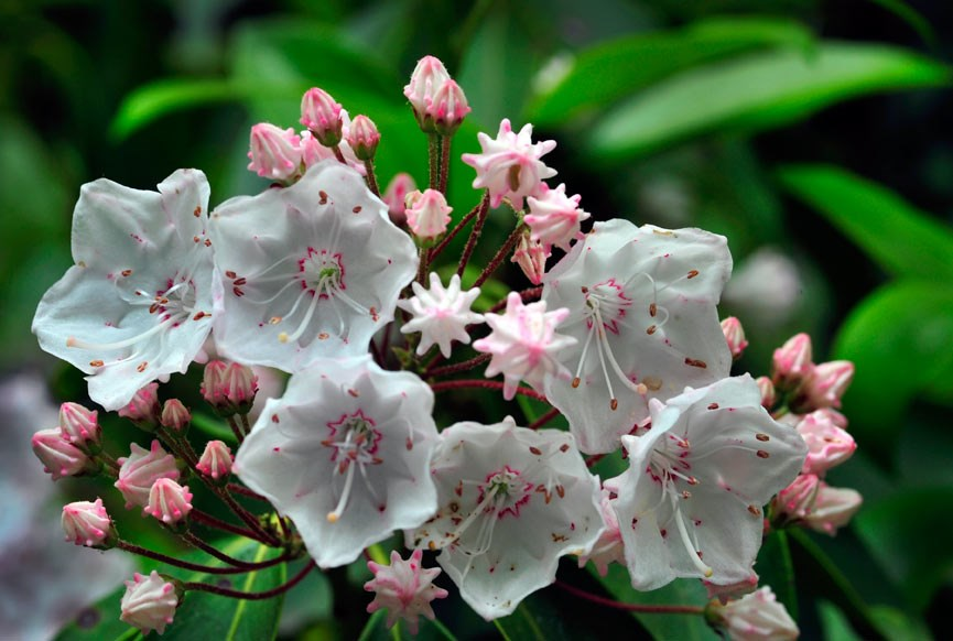 Flora&Fauna-Mountain-Laurel-by-Jim-Jayroe
