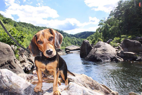 Beagle with leash standing on rock in river