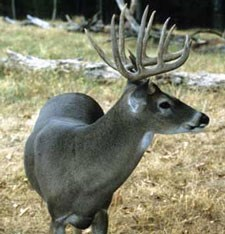 Side profile of a buck