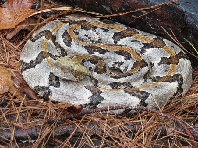 coiled timber rattlesnake among pine needles