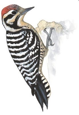 drawing of red cockaded woodpecker