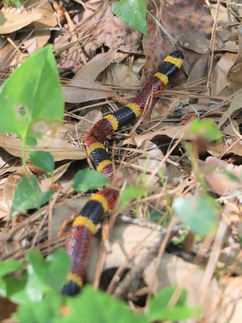 a black/yellow/red coral snake in the leaves on the forest floor