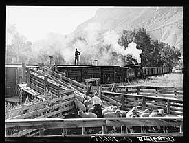 Loading lambs on railway. Photo by Russell Lee.