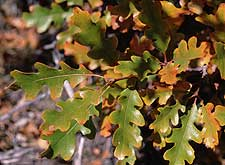 Gambel oak leaves