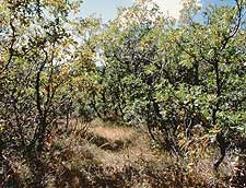 Gambel oak thicket