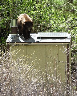 Bear on roof of outhouse.